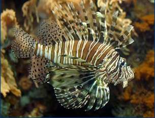 Rotfeuerfisch / Red Lion Fish